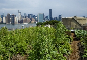 Rooftop Farms, Brooklyn